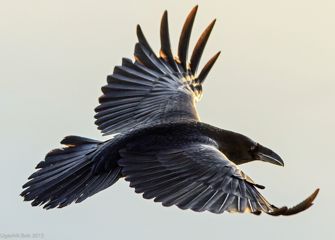 Elijah's Raven in Flight